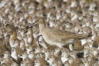 Willet with Shell in its Bill Surrounded by Western Sandpipers-Hal Beral-Photographic Print