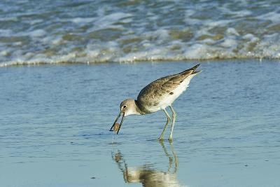 Willet;-Gary Carter-Photographic Print