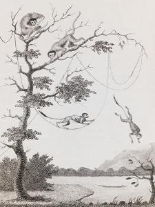 Print Engraving of the Mecco and Kishee Kishee Monkeys by William Blake