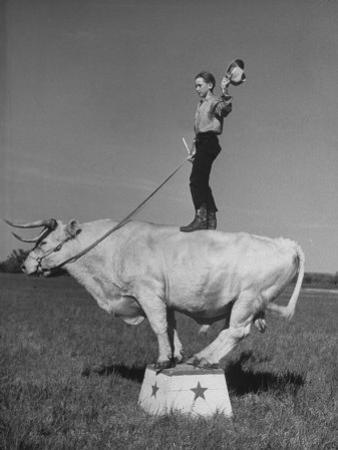 Boy Standing on Shorthorn Bull at White Horse Ranch by William C^ Shrout