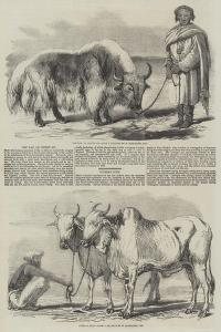 The Yak, or Thibet Ox by William Carpenter