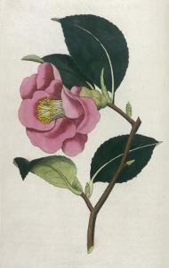 Also Known as Rose Camellia by William Curtis