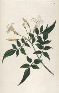 Common Jasmine by William Curtis