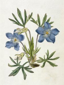 Cut-Leaved Violet or Bird'S-Foot Violet or Crowfoot Violet by William Curtis
