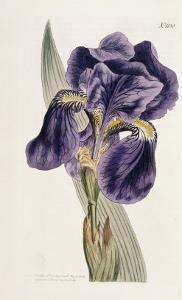 Iris by William Curtis