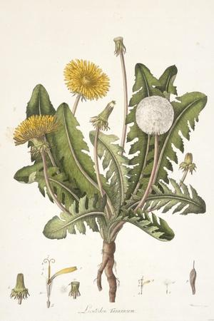 Leontoden Taraxacum from Flora Londinensis, 1777-1798