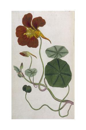 Plants, Tropaeolum Majus