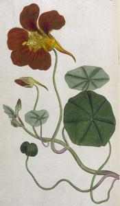 Plants, Tropaeolum Majus by William Curtis