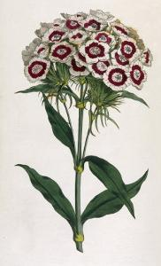Sweet William or Bearded Pink by William Curtis