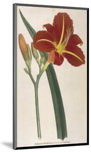 Tawny Day Lily by William Curtis