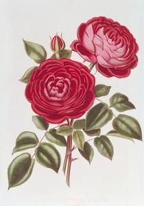 The Rose Perpetual Standard of Marengo by William Curtis