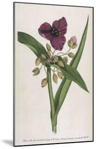 Virginian Tradescantia or Spiderwort by William Curtis