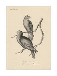 1. Psittacula Lineola and 2. Brotogeris Aurifrons, Litho by J.T. Bowen, 1850 by William E. Hitchcock