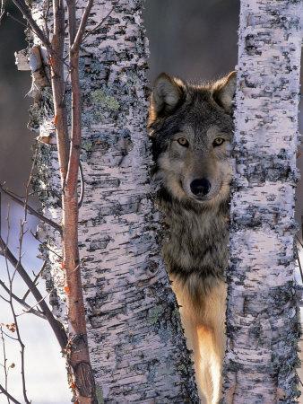 Gray Wolf Near Birch Tree Trunks, Canis Lupus, MN