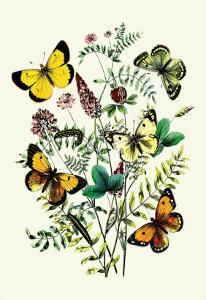 Butterflies: C. Palaeno, C. Phicomene by William Forsell Kirby