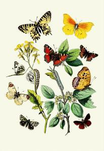 Butterflies: E. Belemia, E. Tagis by William Forsell Kirby
