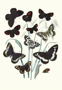Butterflies: H. Circe, H. Hermione by William Forsell Kirby