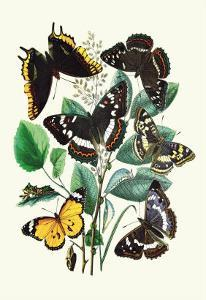Butterflies: L. Populi, A. Iris by William Forsell Kirby