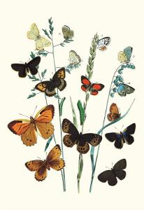 Butterflies: L. Roboris, P. Orion by William Forsell Kirby
