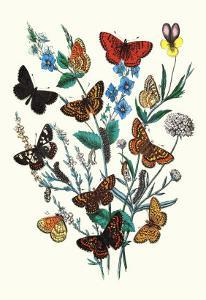 Butterflies: M. Cynthia, M. Athalia by William Forsell Kirby