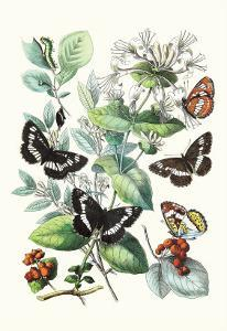 Butterflies: N. Lucilla, L. Sibylla by William Forsell Kirby