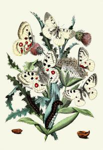 Butterflies: P. Apollo, P. Phoebus by William Forsell Kirby