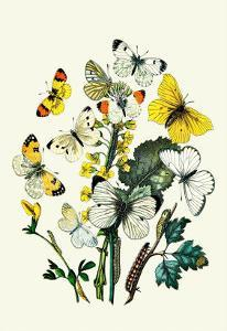 Butterflies: P. Daplidice, P. Napi by William Forsell Kirby