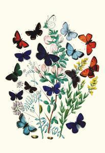 Butterflies: P. Euphemus, P. Cyllarus by William Forsell Kirby