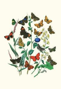 Butterflies: P. Sylvanus, Z. Quercus by William Forsell Kirby