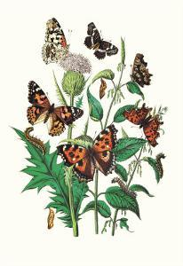 Butterflies: V. Xanthomelas, V. Prorsa by William Forsell Kirby