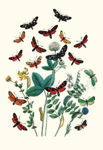 Moths: A. Infausta, I. Globularioe by William Forsell Kirby