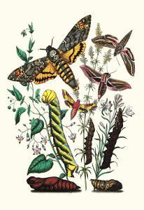 Moths: C. Colerio, C. Elpenor, C. Porcellus by William Forsell Kirby