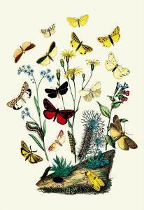 Moths: C. Miniata, S. Aurita by William Forsell Kirby