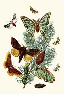 Moths: E. Pudica, E. Pantheria, S. Caecigena, L. Lineosa by William Forsell Kirby