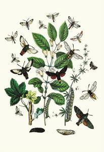 Moths: M. Stellatarum, M. Croatica by William Forsell Kirby