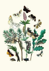 Moths: O. Gonostigma, D. Pudibunda by William Forsell Kirby