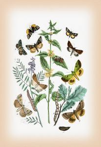 Moths: Plusia Iota, P. Hochenwarthi by William Forsell Kirby
