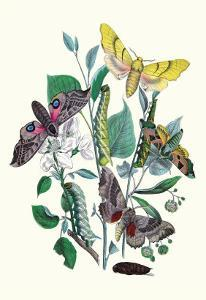 Moths: S. Tilioe, S. Quercus, S. Populi, S. Ocellatus by William Forsell Kirby