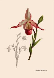 Orchid: Cypripedium Calurum by William Forsell Kirby