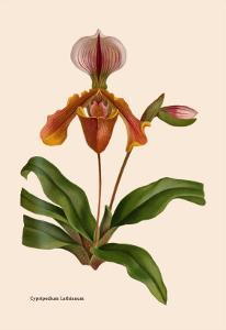 Orchid: Cypripedium Lathianum by William Forsell Kirby