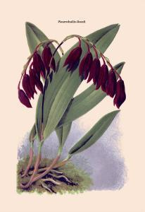 Orchid: Pleurothallis-Roezli by William Forsell Kirby
