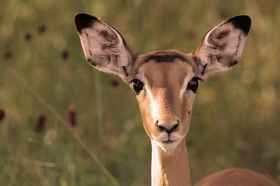 Impala Portrait, Ruaha National Park, Tanzania - an Alert Ewe Stares Directly at the Camera
