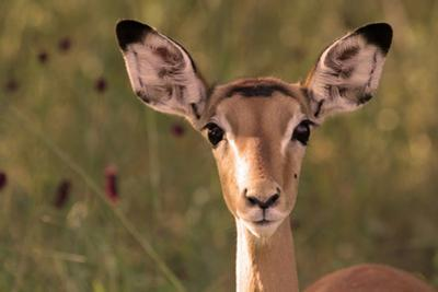 Impala Portrait, Ruaha National Park, Tanzania - an Alert Ewe Stares Directly at the Camera by William Gray