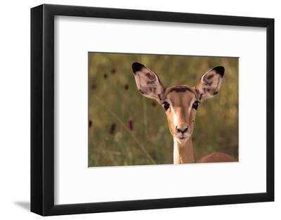 Impala Portrait, Ruaha National Park, Tanzania - an Alert Ewe Stares Directly at the Camera