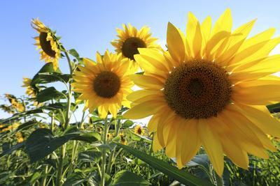 Sunflowers in Full Bloom During August in a Field Near Perugia, Umbria, Italy
