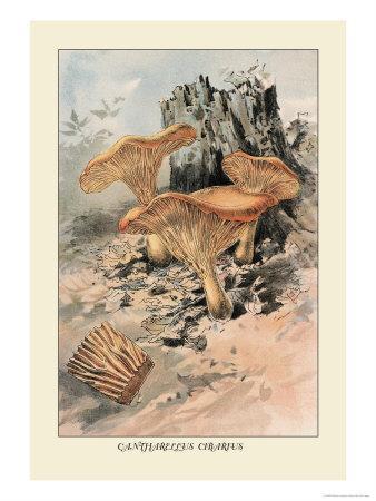 Agaricus Campestris Art Print William Hamilton Gibson Art Com