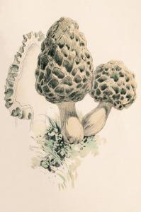 Morchella Esculenta by William Hamilton Gibson