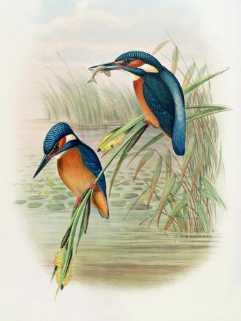 Alcedo Ispida, Plate from 'The Birds of Great Britain' by John Gould, Published 1862-73