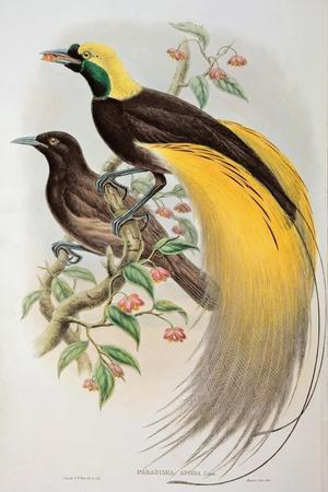 Bird of Paradise: Greater, Paradisaea Apoda