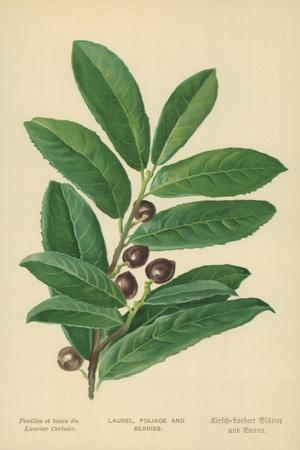 Laurel, Foliage and Berries